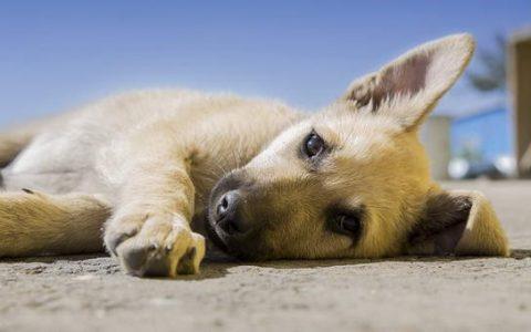 狗狗行为解读:4种在地上摩擦的原因!