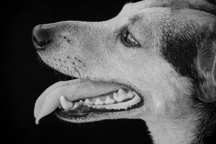 宠物狗狗洗牙其实不可怕