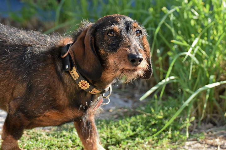腊肠犬有哪些常见的皮肤病?