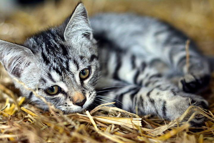 猫咪难缠的霉菌感染