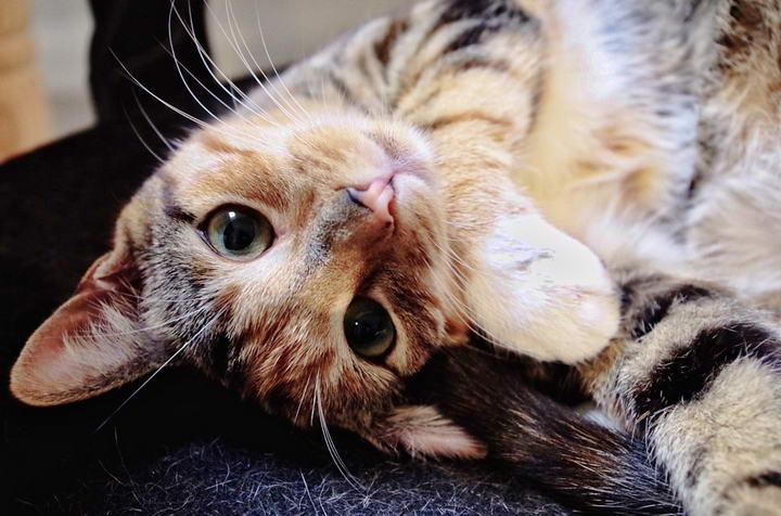 猫咪呼噜声有差异?