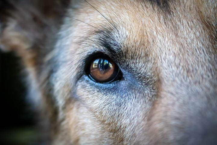 狗狗一直流眼泪,泪痕明显该怎么办?