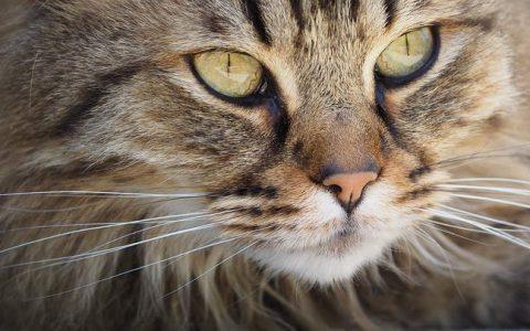猫咪一直流眼泪,泪痕明显该怎么办?