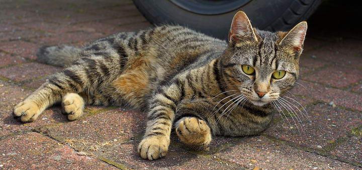 猫咪咳嗽可能是重大疾病的前兆