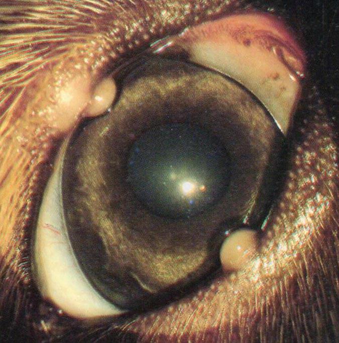 犬眼睑霰粒肿外观可见黄白色的肿大