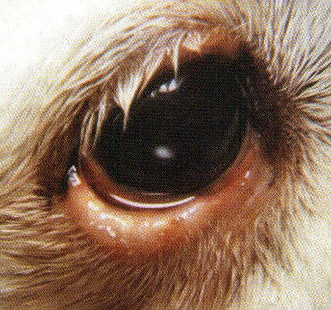 下眼睑因为内麦粒肿(针眼),所以有明显肿胀