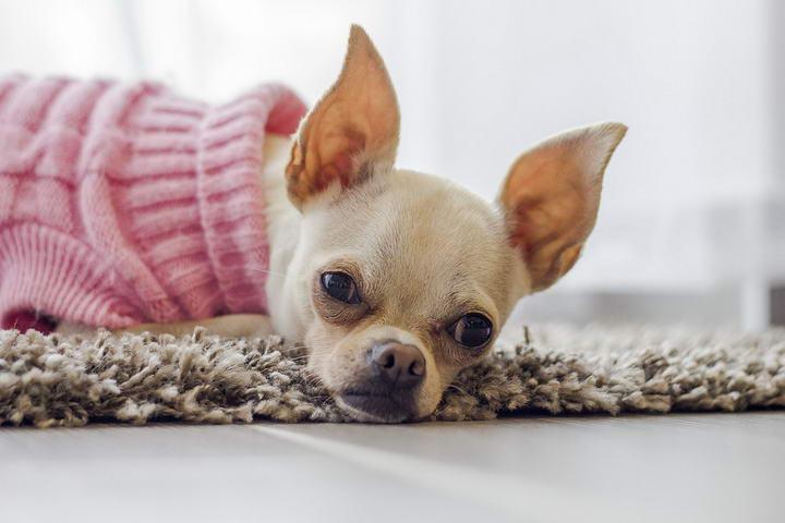 狗狗也会长针眼?
