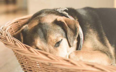 关于狗狗绝育的6个问题:绝育后可不只有变胖这么简单