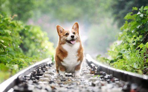 柯基犬椎间盘疾病的症状和治疗