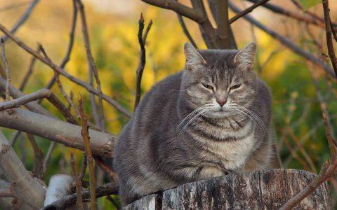 猫咪胖胖的虽然可爱但是并不是好事