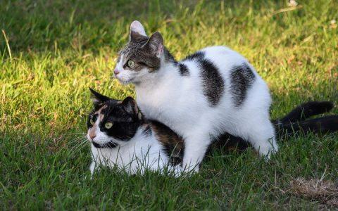 别再嫌我喵喵叫!猫咪发情季的注意事项