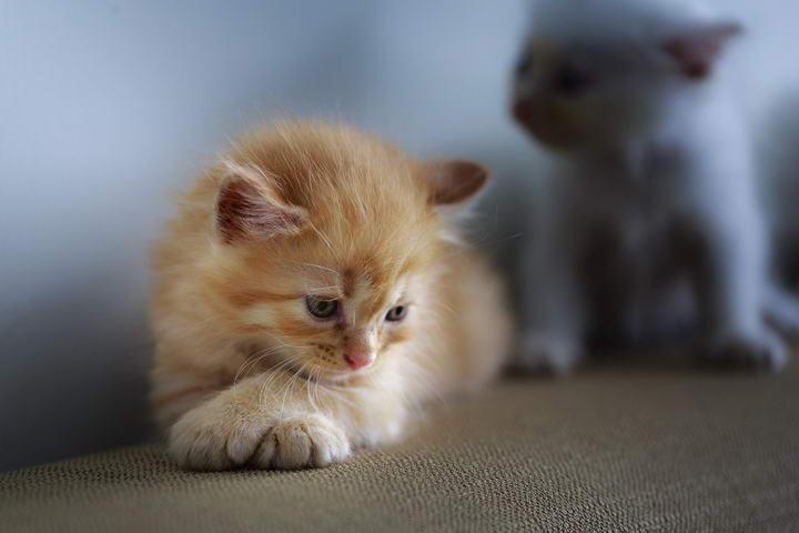 幼猫小奶猫常见的3种疾病