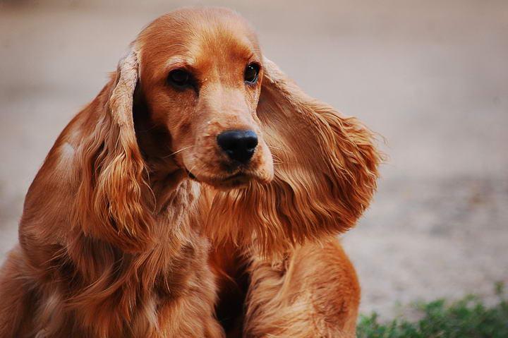 大耳朵狗狗垂耳犬应该如何照顾?
