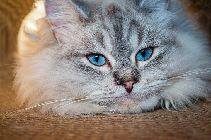 在喂养西伯利亚猫之前你需要了解的9件事