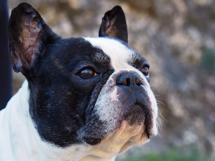 为什么有些狗的面部是平的,比如法国斗牛犬等