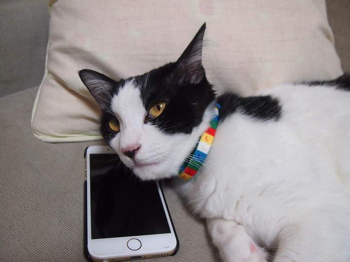 为什么每次你打电话的时候,猫咪都会在旁边喵喵叫?