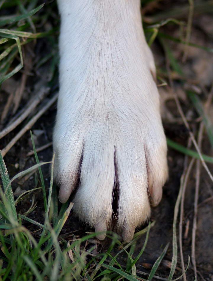 你的狗狗是白色指甲还是黑色指甲?剪指甲可是大有不同
