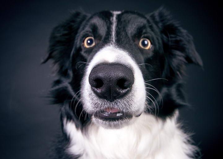 萌萌的大眼睛藏玄机?!狗狗演化而来的秘密武器!