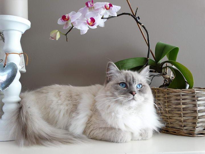 在养布偶猫之前你需要了解的8件事