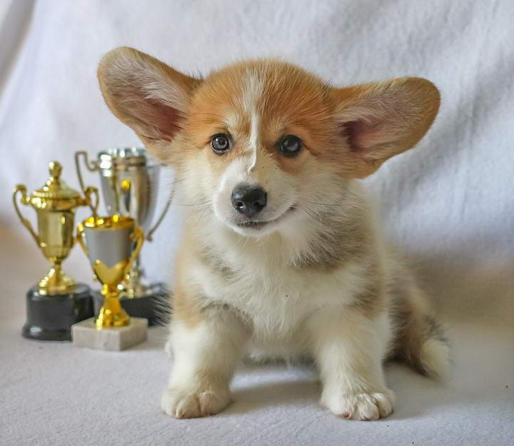 有哪些聪明的小型犬,服从性高且体型较小的狗狗品种