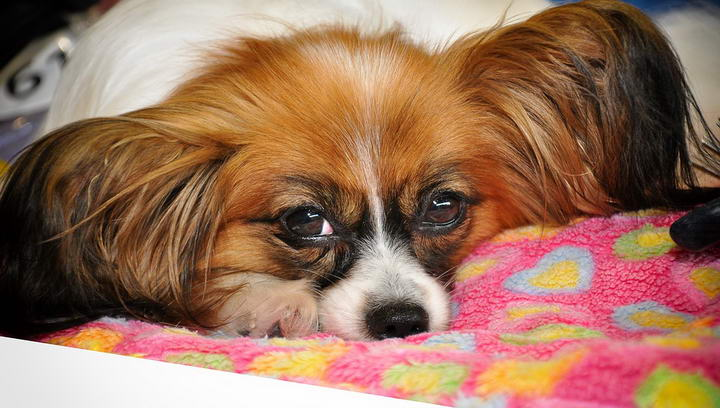 研究表明,狗狗已经进化出了一种新的眼肌来和人类交流