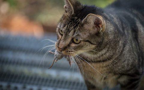 猫咪叼老鼠给你是因为它以为你不会打猎