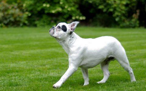狗狗突然走路不稳后腿无力有哪些可能的原因