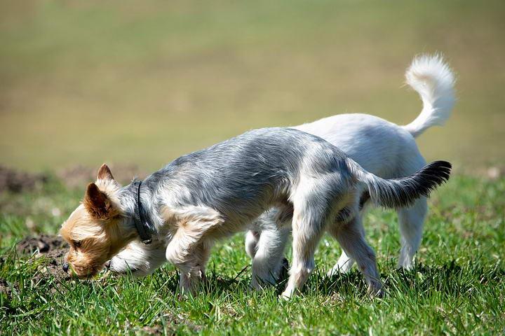 狗狗总是闻来闻去就是不大便是怎么回事?