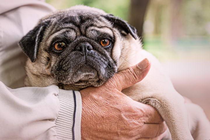 抱狗狗也是有正确姿势的,不小心会对狗狗身体造成伤害