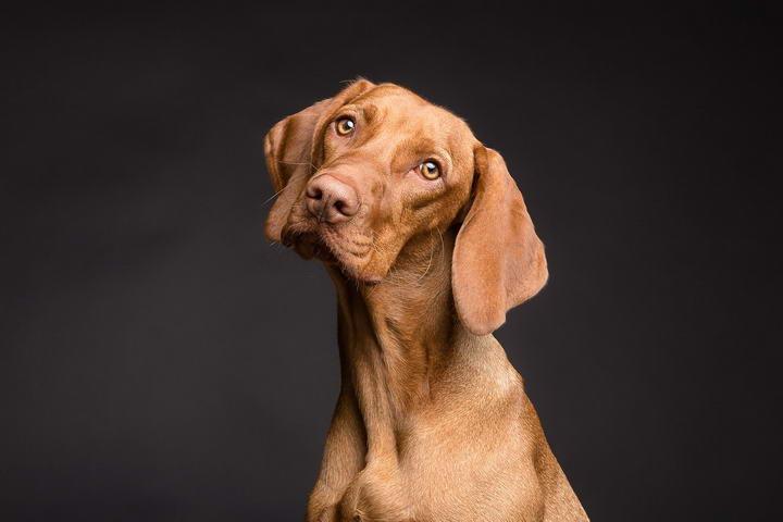 狗狗为什么会歪头看你?除了卖萌还有其他原因吗?