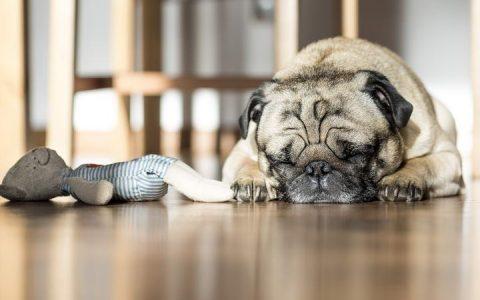 狗狗就是一个大醋坛子:连玩具狗的醋都吃!