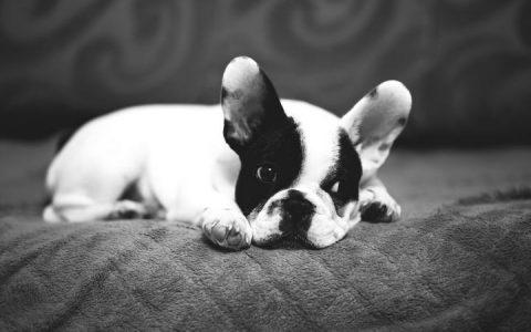 狗狗何时要施打疫苗?有哪些注意事项