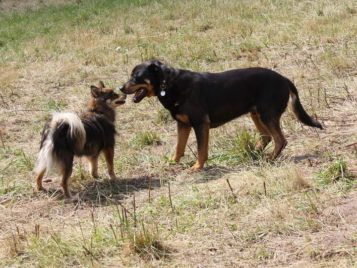 当大狗和小狗相遇的时候为什么小型狗狗叫得很凶,而大型狗狗却很少叫?