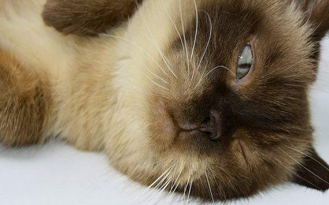 猫咪也有唐氏综合征?有关基因缺陷症