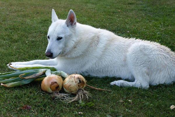 狗狗为什么不能吃洋葱?误食该怎么办?
