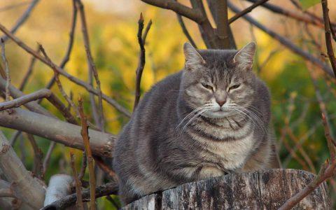 猫咪肥胖可能会引起哪些疾病