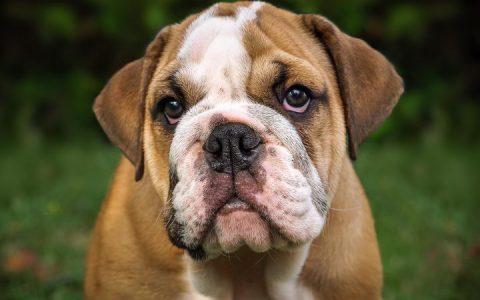 哪一个品种的狗狗是最难训练的?