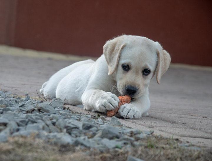 如何通过狗狗的饮食本能来训练宠物狗