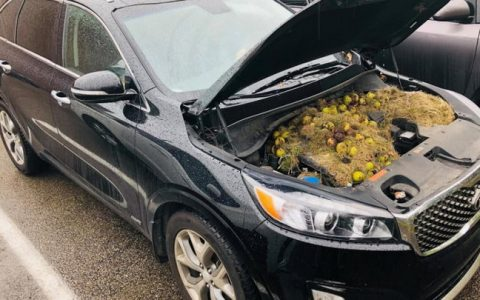 开车闻到焦味:原来是松鼠将核桃藏在汽车引擎盖下