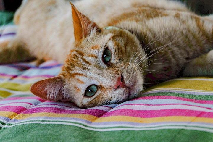 猫咪越老越活泼,小心是患有高甲状腺功能症
