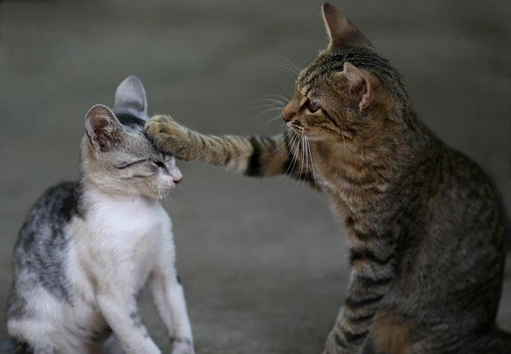 如何让两只猫咪能够和平共处不要打架