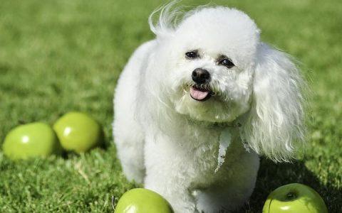狗狗个性:超可爱的微笑比熊犬