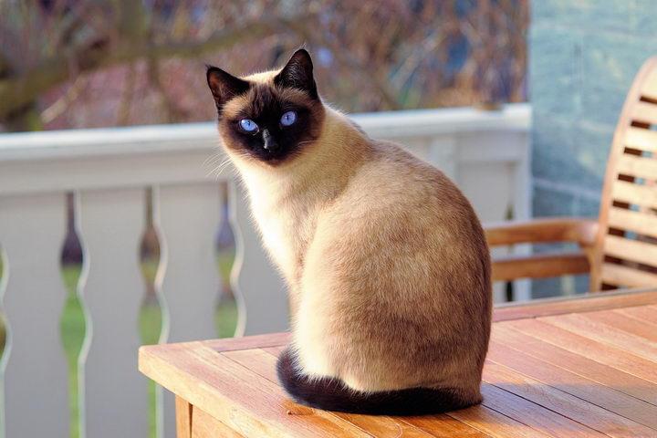 冬天暹罗猫的脸为什么会越来越黑?
