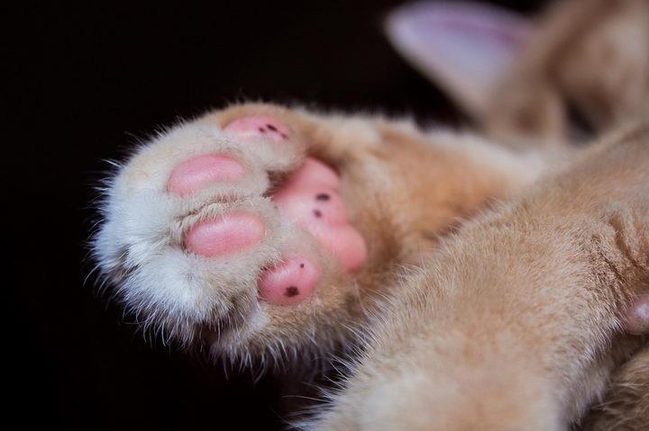 猫咪粉嫩肉掌有哪些功能:排汗、避震、传递信息