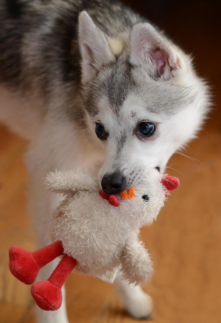 狗狗能不能吃鸡肉?有90%的铲屎官都喂错了!