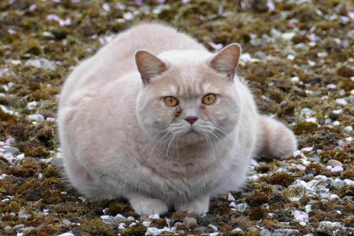 为什么会有橘猫容易长胖的说法?