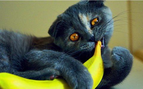 猫咪能吃香蕉么?原来喜欢吃香蕉的猫都是小怪胎