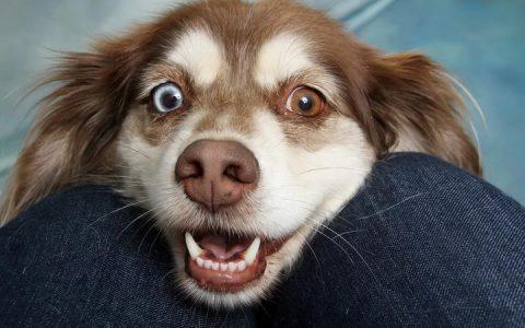 狗狗眼神楚楚动人的背后原因