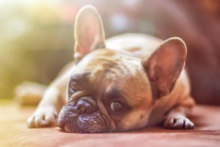 狗狗可能生病了的十大迹象