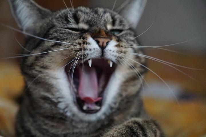 家里的猫咪一直叫是怎么回事?